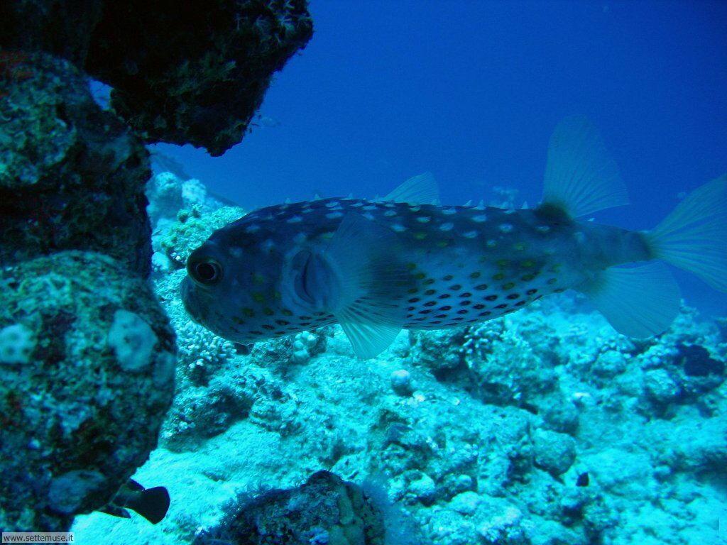 Pesci marini 022