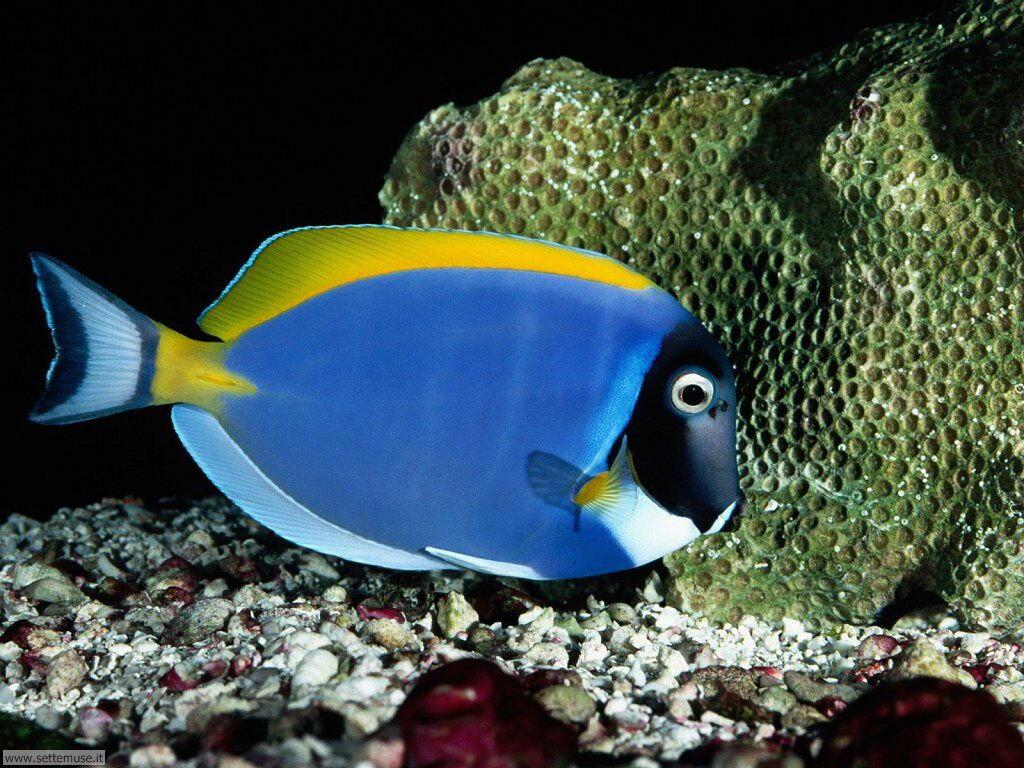 Pesci marini 033