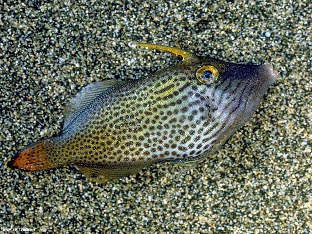 Pesci marini 036