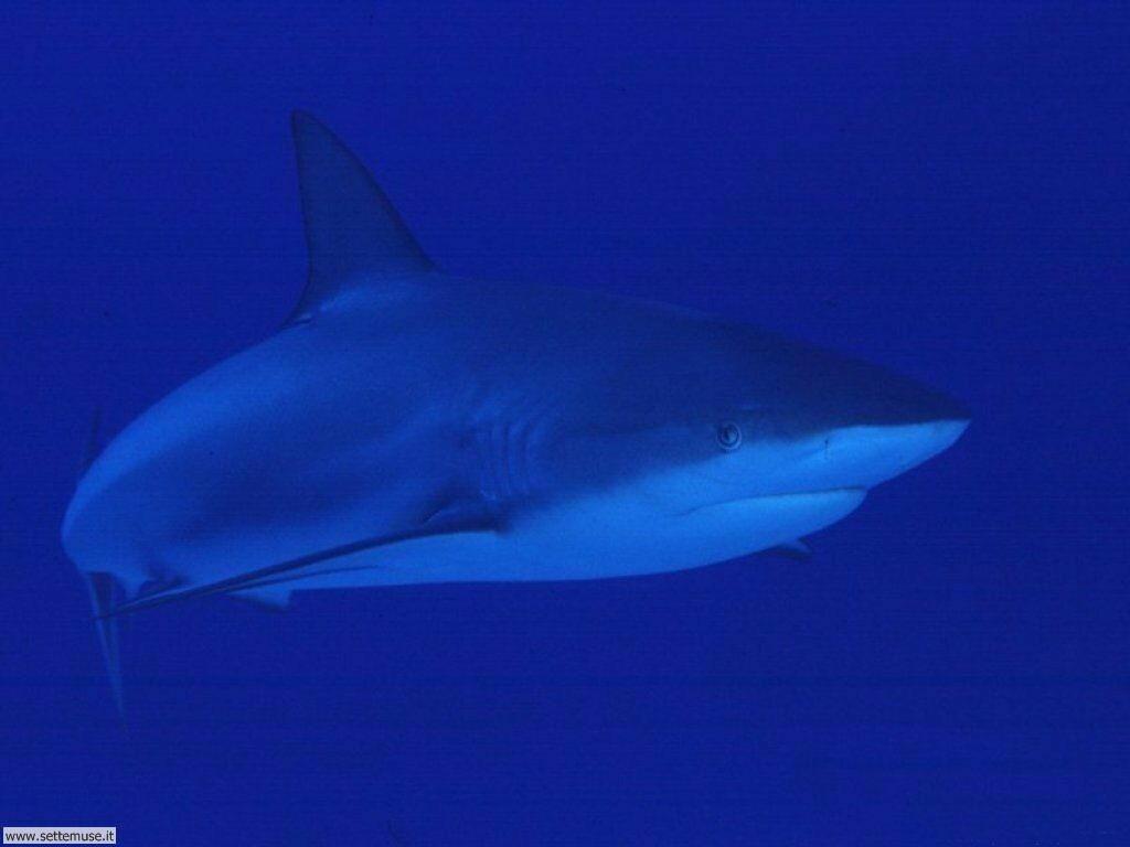 squali 7