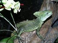 Foto sfondi camaleonti
