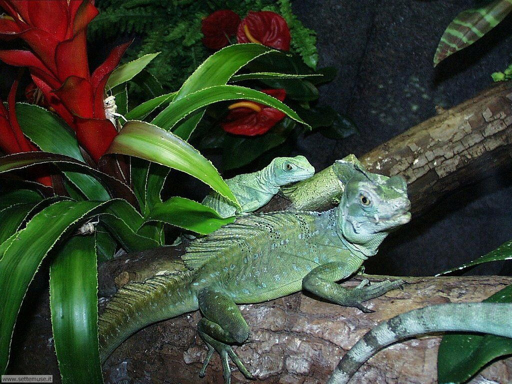 foto di camaleonti per sfondi