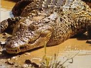 Foto sfondi coccodrilli e alligatori