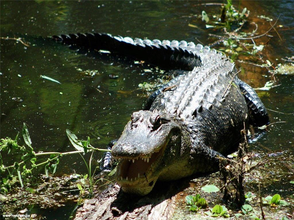 foto di coccodrilli per sfondi