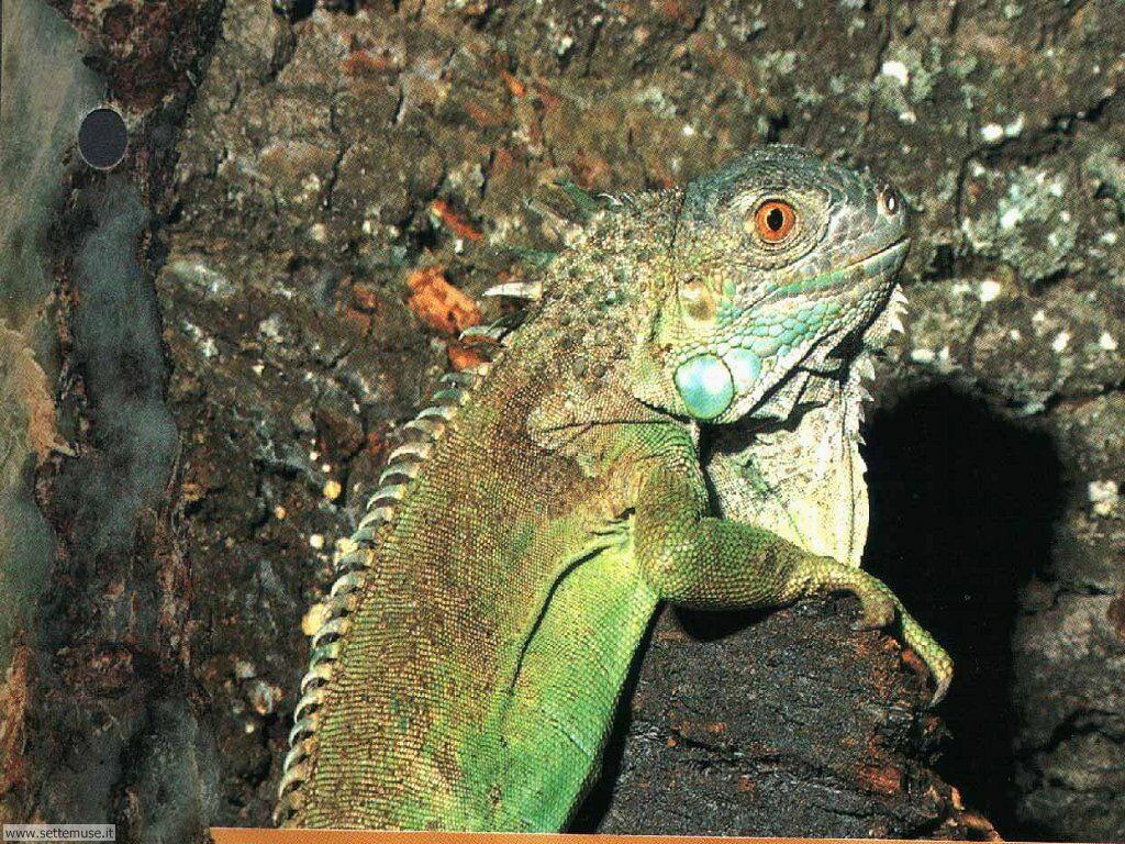 Foto di Iguana 005