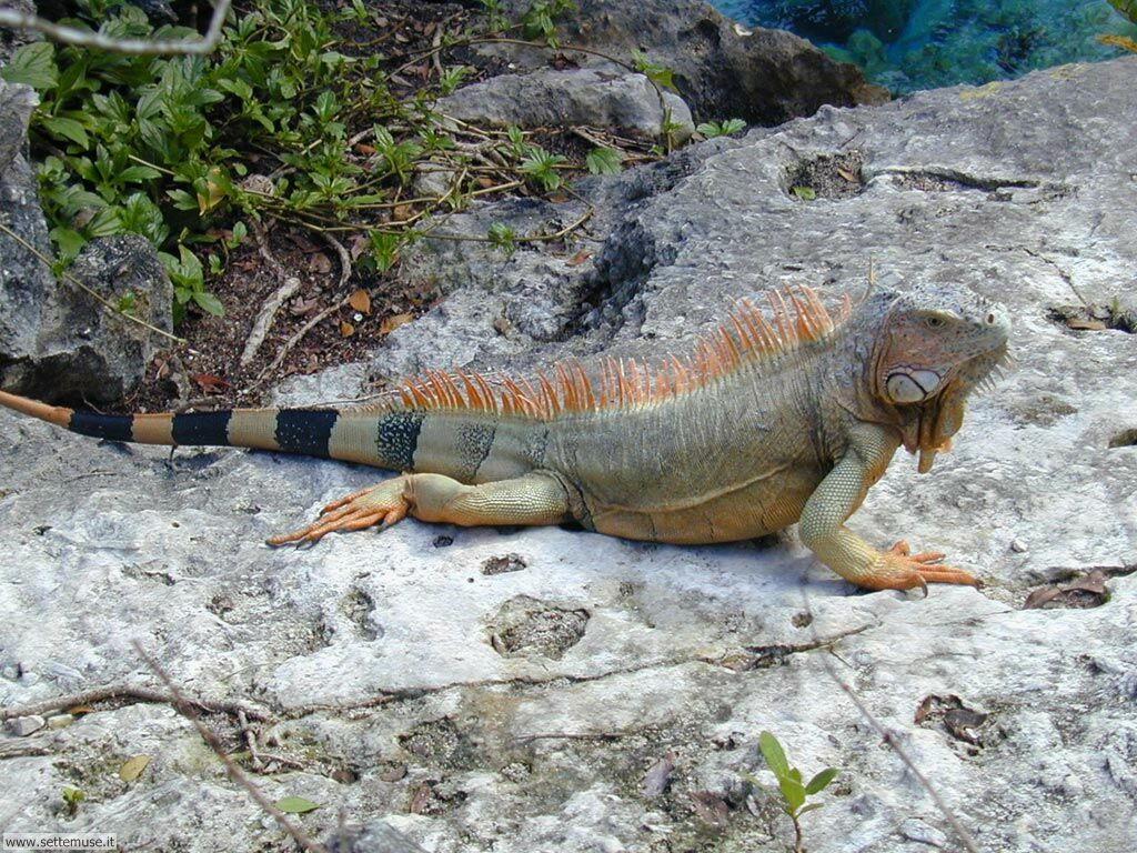 Foto di Iguana 007