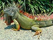 Foto sfondi iguane