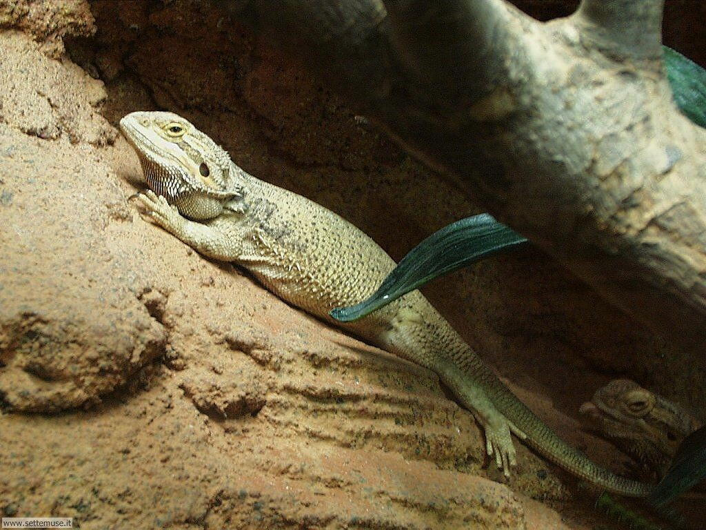 Foto di Iguana 017