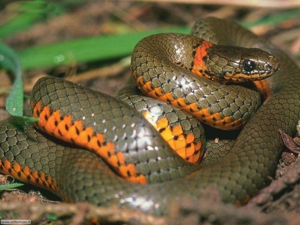 Foto di Serpenti 002