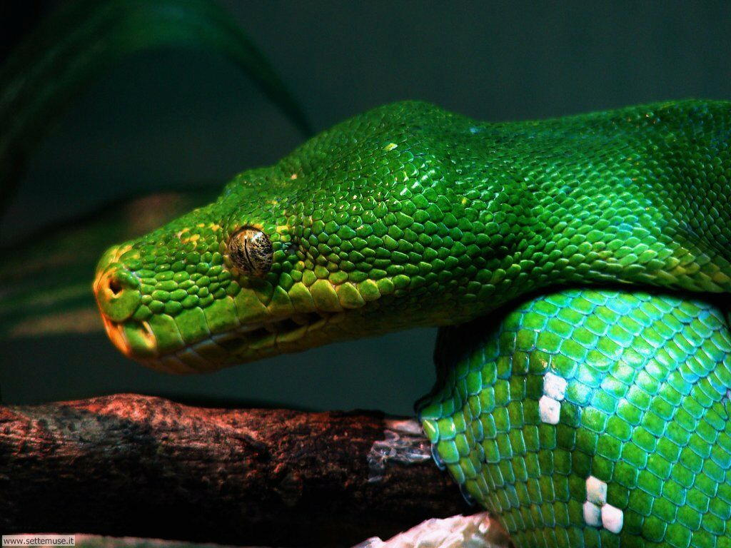 Foto di Serpenti 007