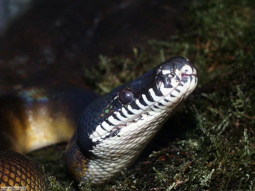 Foto di Serpenti 028
