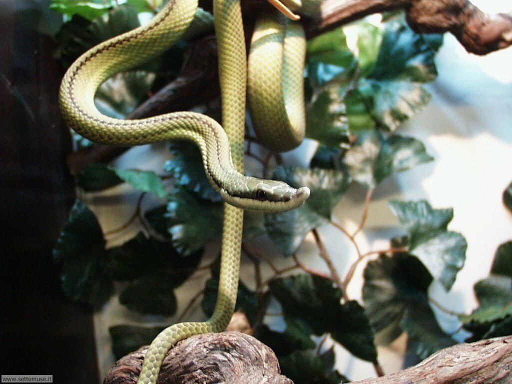 Foto di Serpenti 032