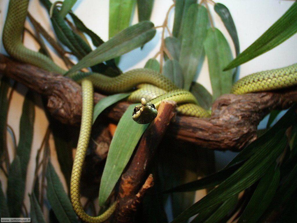 Foto di Serpenti 033