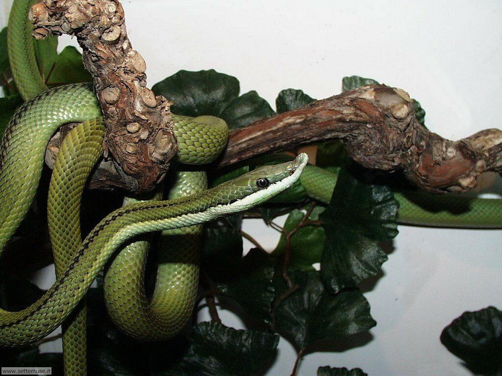Foto di Serpenti 034