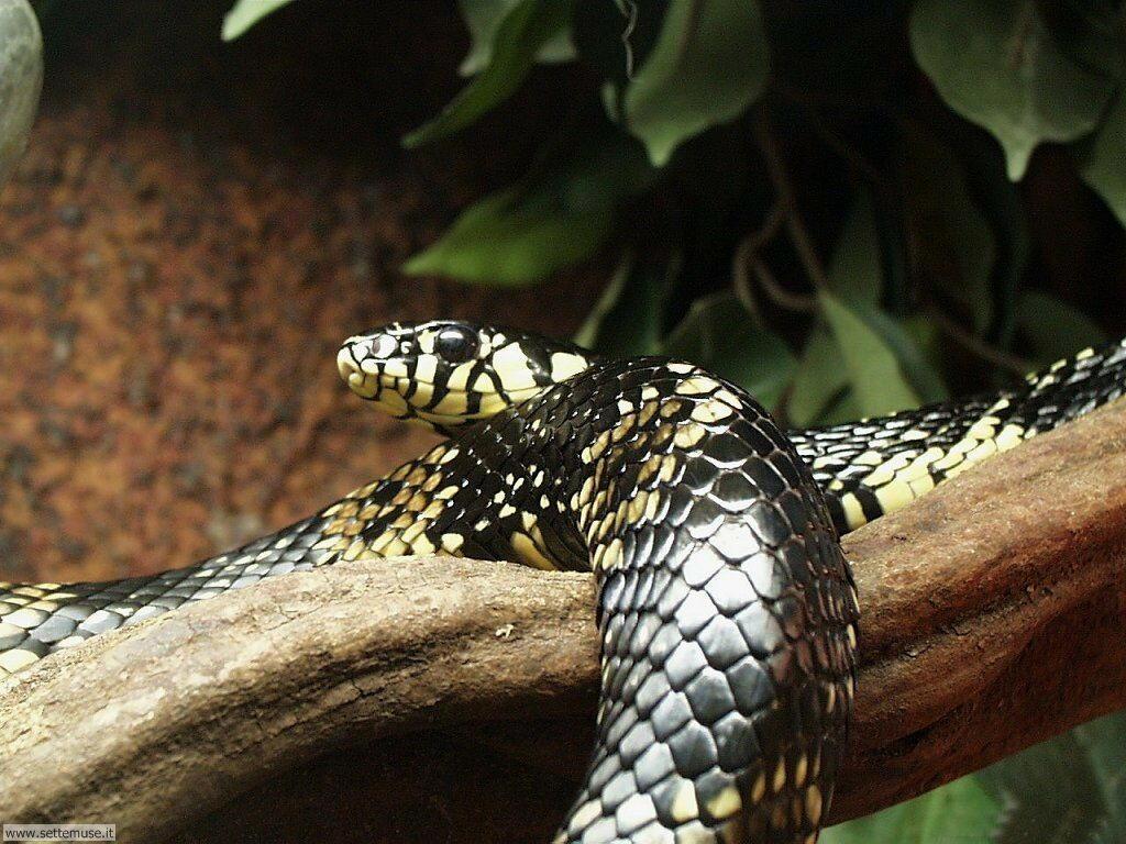 Foto di Serpenti 038