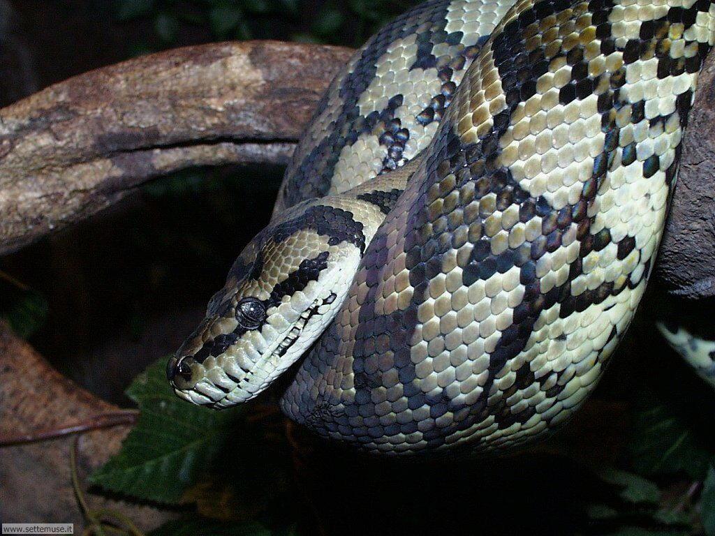 Foto di Serpenti 041