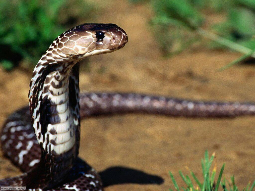 Foto di Serpenti 043