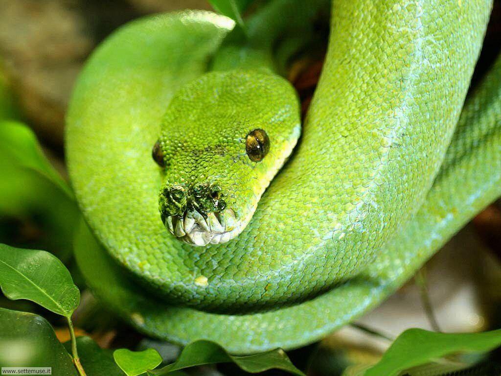 Foto di Serpenti 044