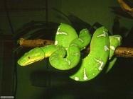 Foto sfondi serpenti