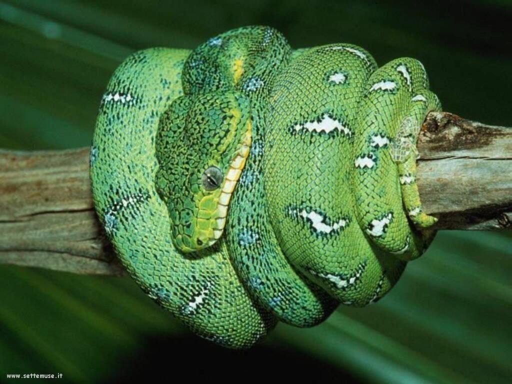 Foto di Serpenti 058