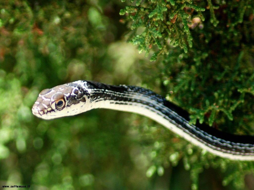 Foto di Serpenti 063