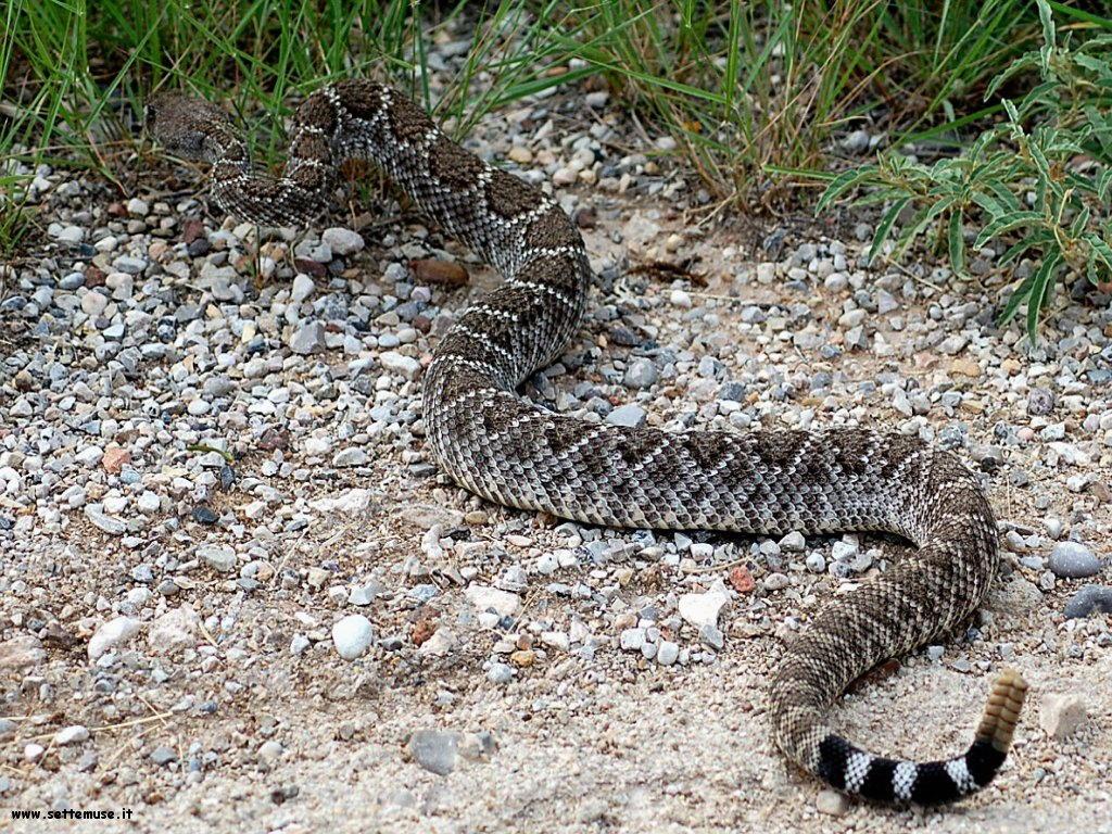 Foto di Serpenti 064