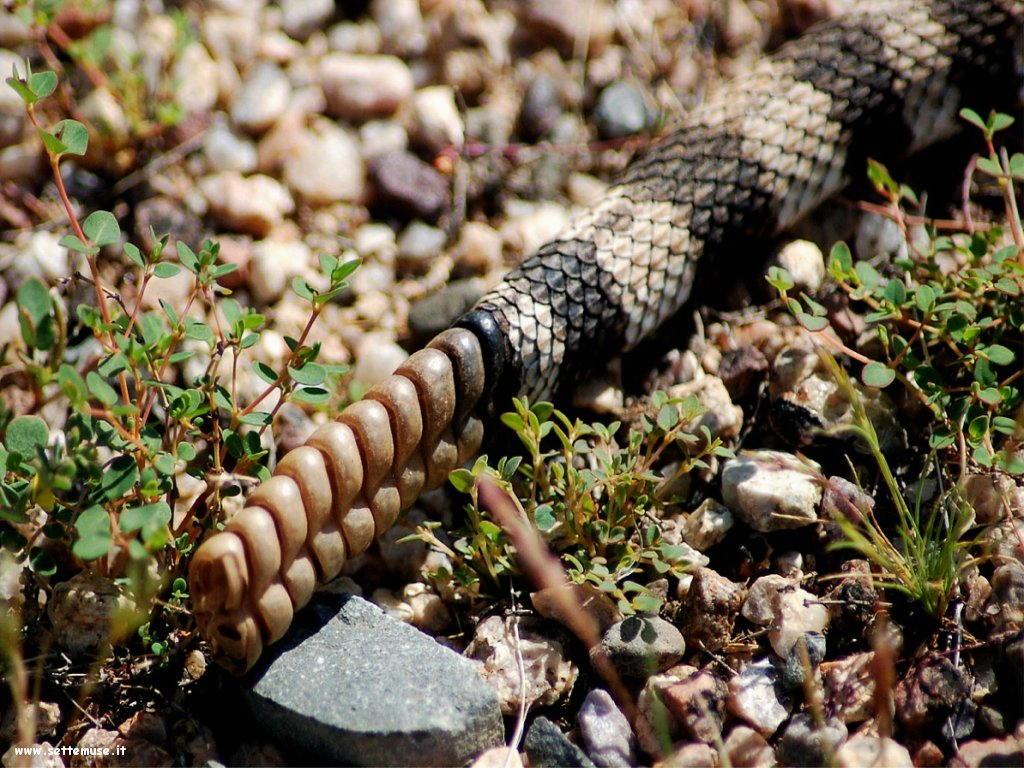 Foto di Serpenti 072