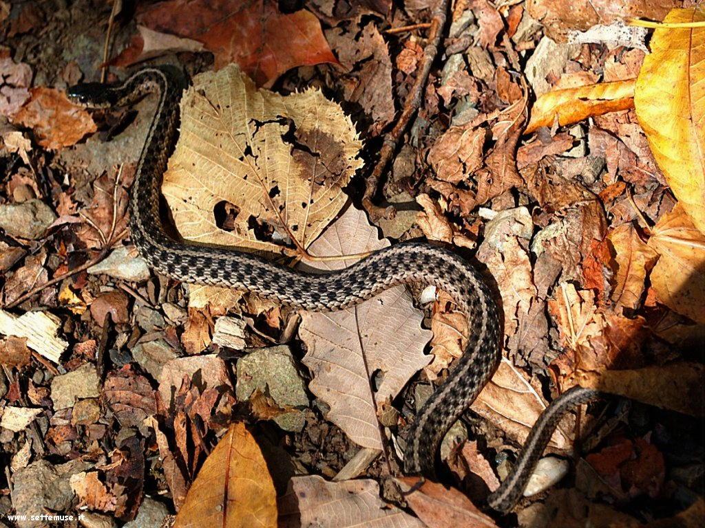 Foto di Serpenti 074