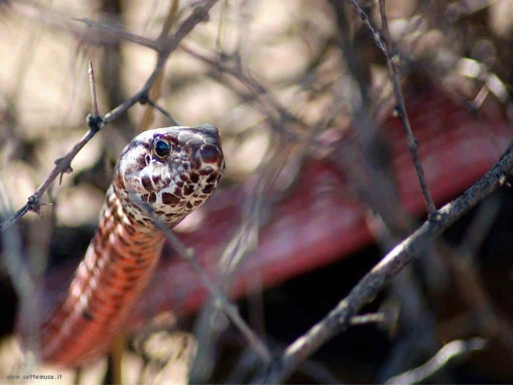 Foto di Serpenti 076
