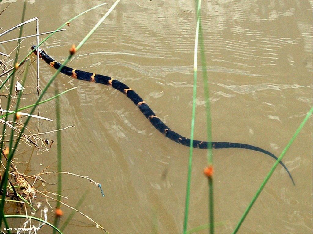Foto di Serpenti 084