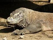 Foto sfondi varani di Komodo