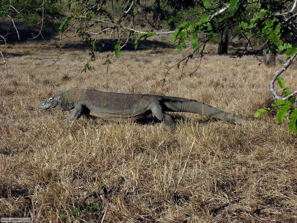 Foto Varani di Komodo 005