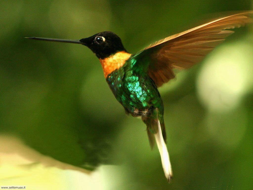 foto di colibrì per sfondi