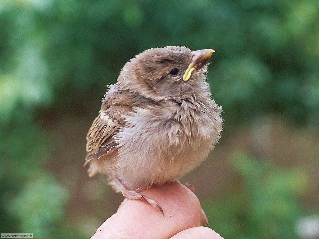 Foto di Uccelli nidiacei 002