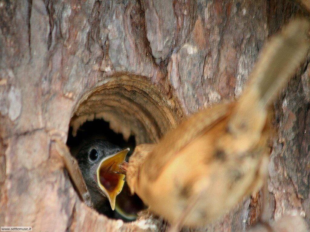 Foto di Uccelli nidiacei 003