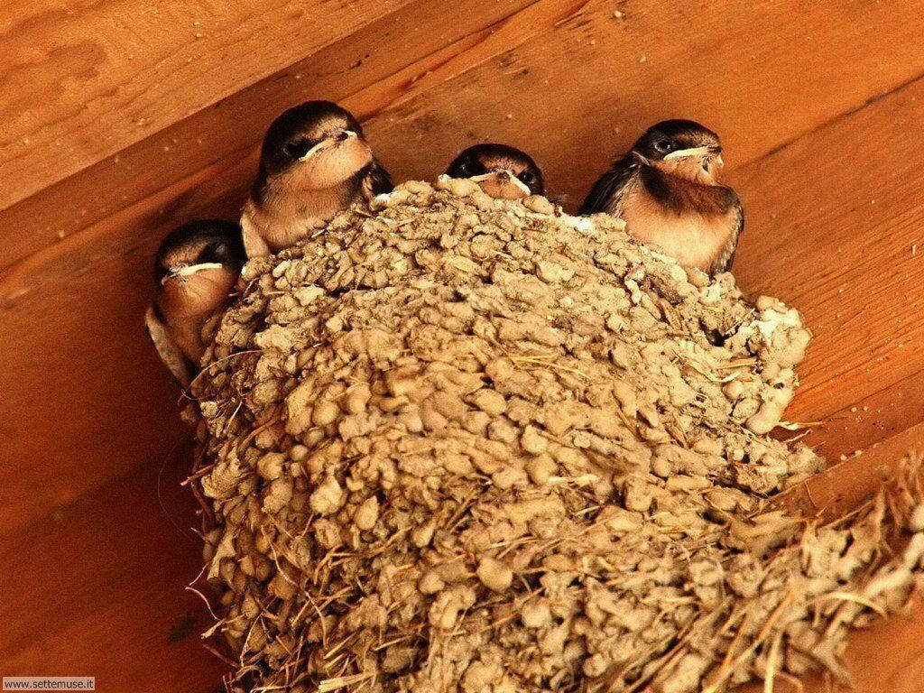 Foto di Uccelli nidiacei 004