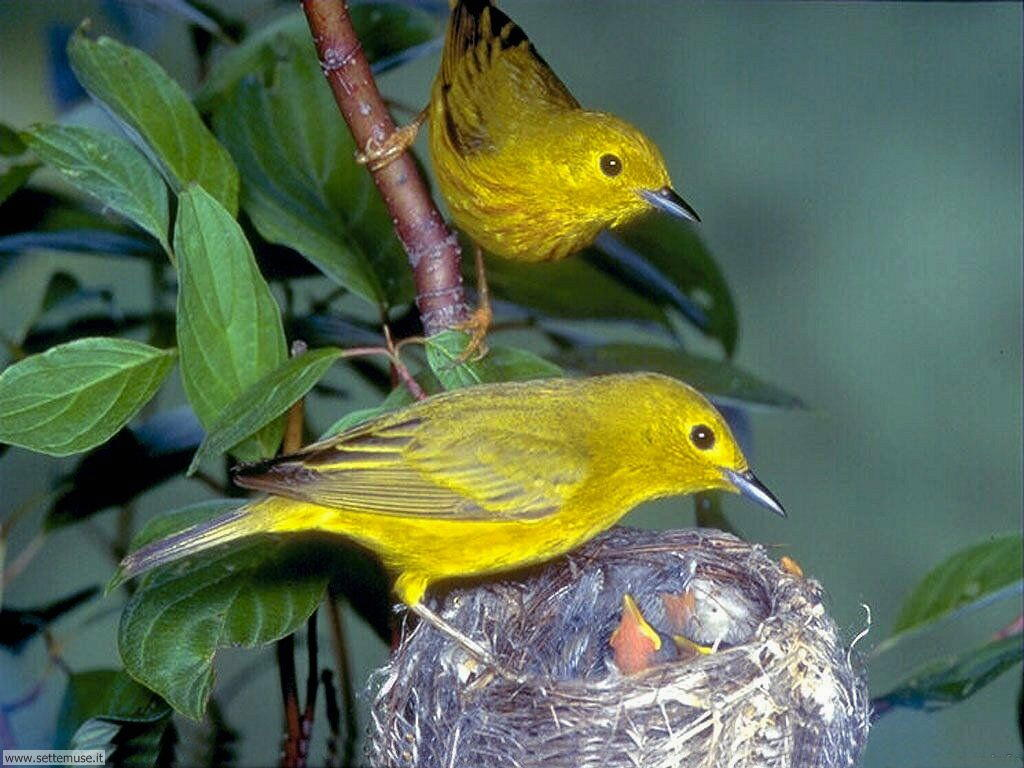 Foto di Uccelli nidiacei 010