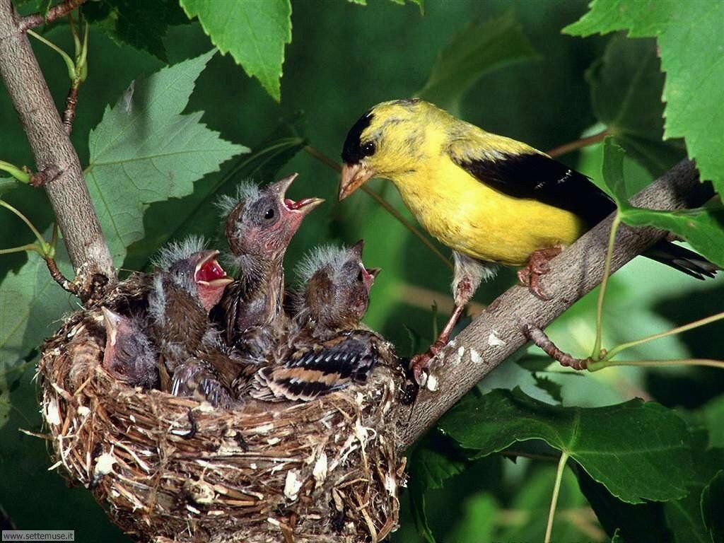 Foto di Uccelli nidiacei 011