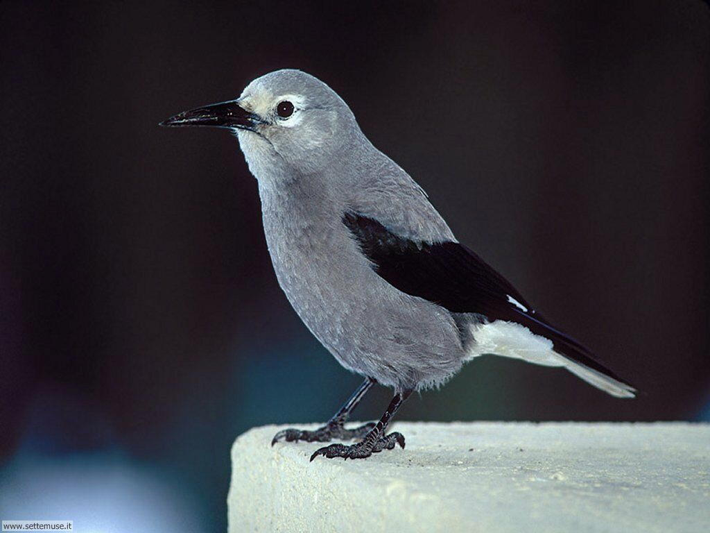 Foto di Uccelli vari 038