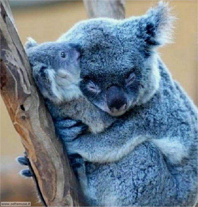 koala 002