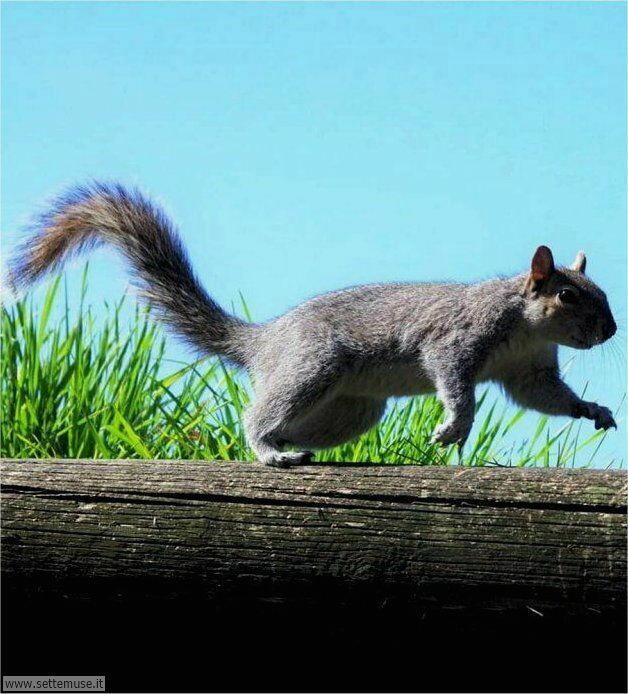 scoiattoli 006