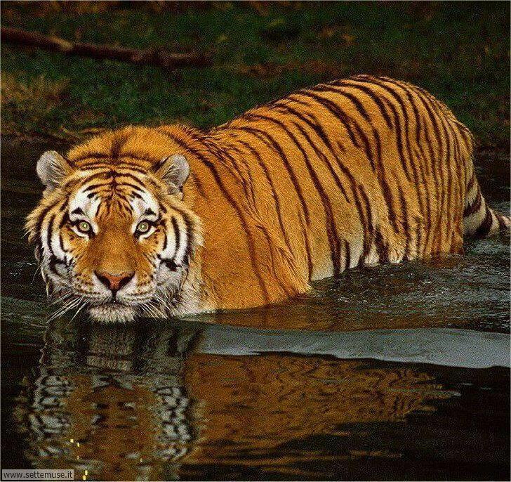tigre 001