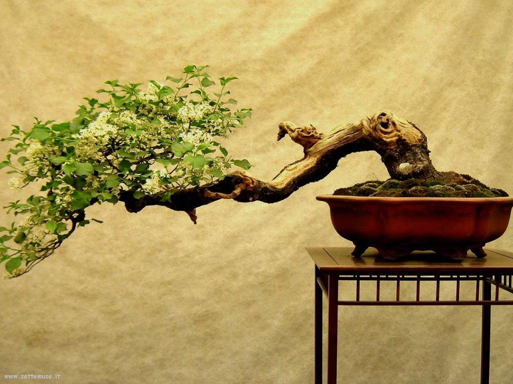 foto di bonsai per sfondi
