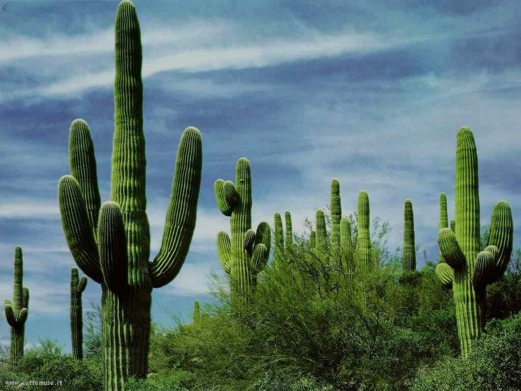 cactus 92