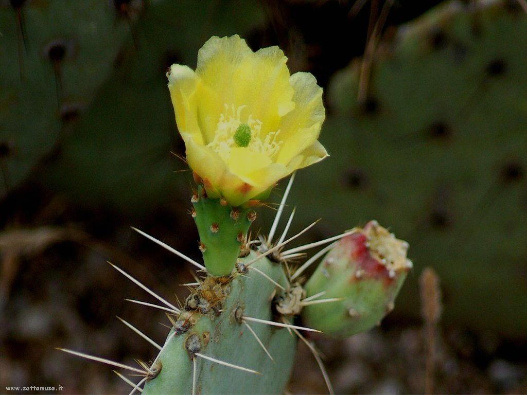 cactus 95