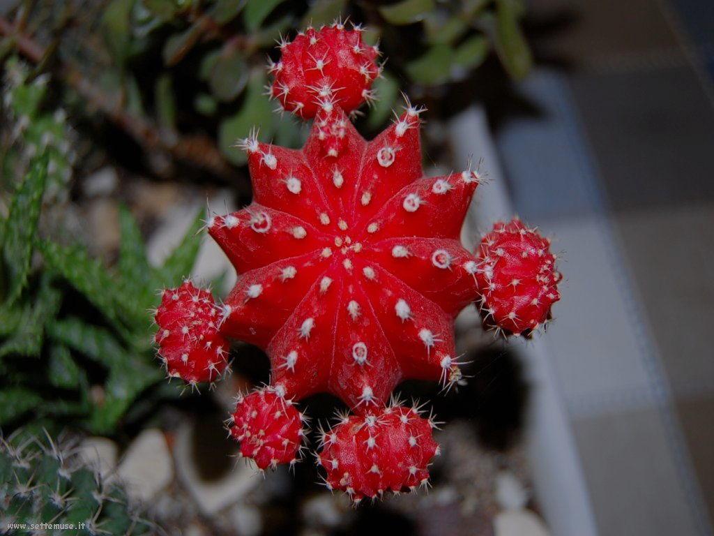 cactus 97
