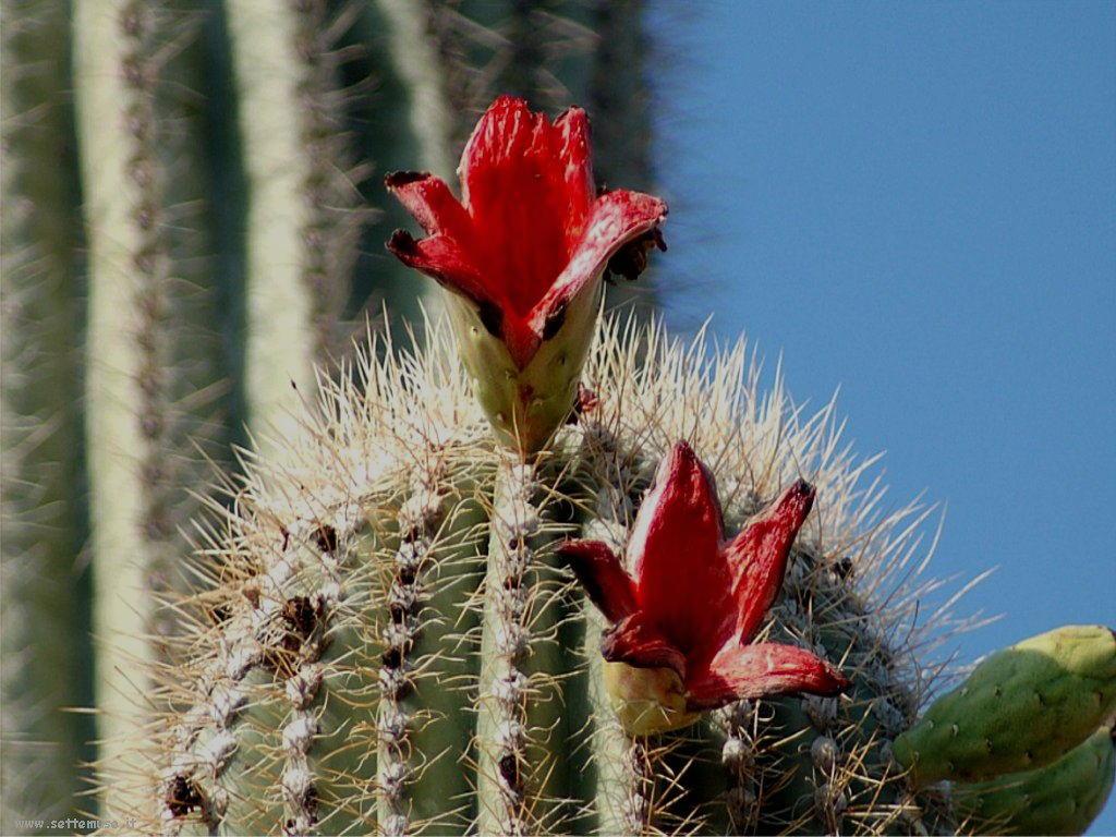 cactus 98
