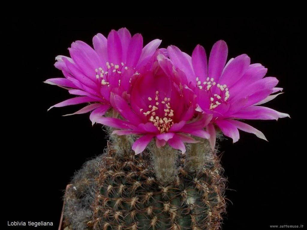 cactus 204