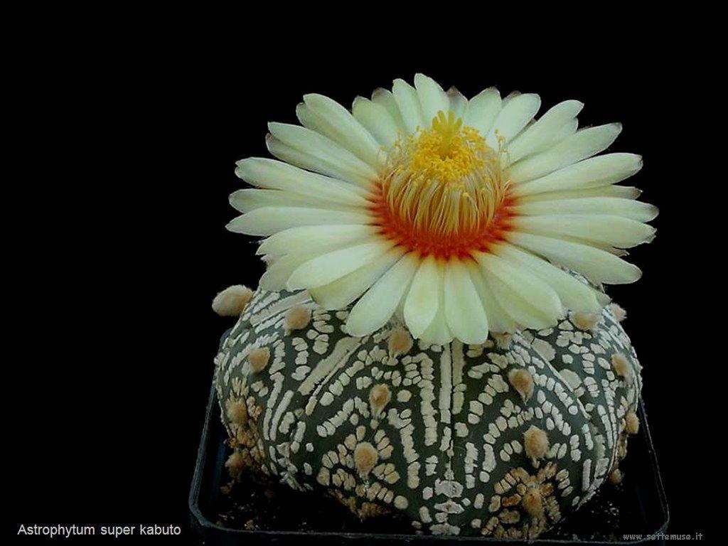 cactus 205
