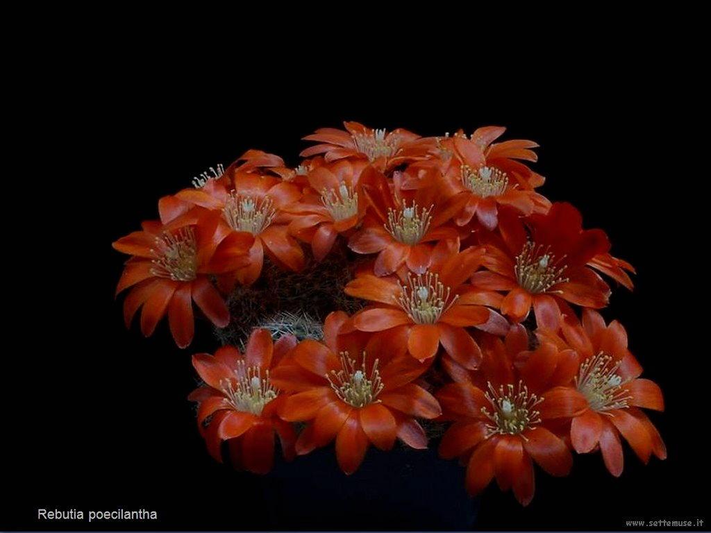 cactus 206